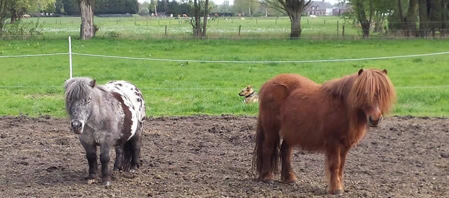 coachen met shetlanders en paarden